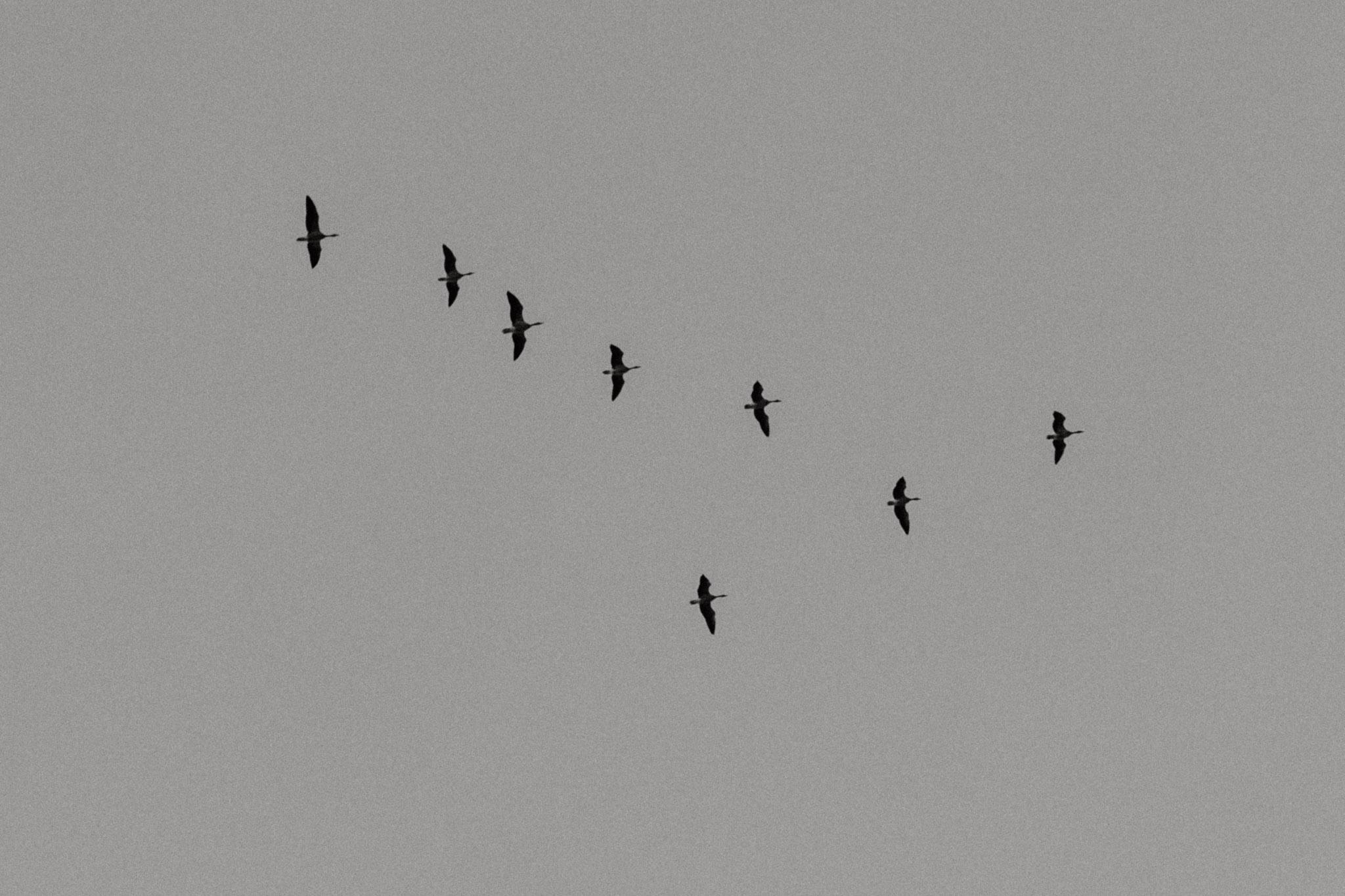 klucz ptaków